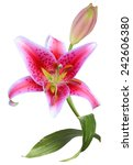 lily | Shutterstock . vector #242606380