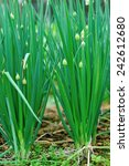 Green Spring Onion In Growth A...