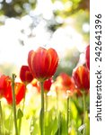 Red Orange Tulips With Bokeh
