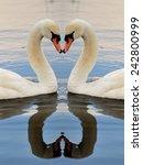 swan symmetry bird wildlife  ... | Shutterstock . vector #242800999