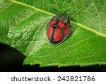 Tortoise Beetle  Stolas Punicea ...