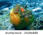 red anemonefish with white strip on his head on anemone underwater - stock photo