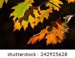 Oak Leaf   Autumn  Herfstblad