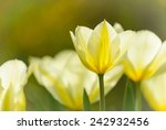 Close Up Image Of Yellow Tulip...