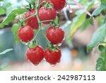 Fresh Red Tomato In Garden...