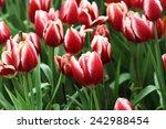 vivid  tulips in garden | Shutterstock . vector #242988454