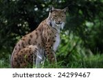 lynx close up portrait | Shutterstock . vector #24299467