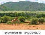 Giraffe  Pilanesberg National...