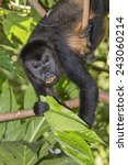 Small photo of Male montled howler monkey (Alouatta palliata) eating tree leaves in rainforest canopy, Cahuita national park, Limon, Costa Rica.
