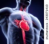 human heart anatomy | Shutterstock . vector #243071410