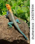 Small photo of Male rainbow agama (Agama agama) in bright breeding colors, Amboseli National Park, Kenya
