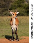 Male Red Lechwe Antelope  Kobu...