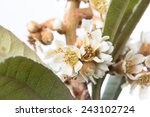 flowers and leaves of the china ... | Shutterstock . vector #243102724