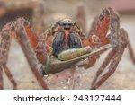 Small photo of Wandering Spider Ctenidae with prey Grouse locust Tetrigidae