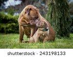 Bordeaux Dogie