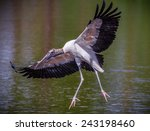 Wood Stork With Wings Spread...