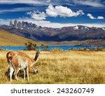 guanaco in torres del paine... | Shutterstock . vector #243260749