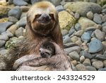 Three Toed Sloth With A Baby ...