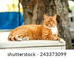 Feral Orange Tabby Cat