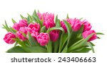 Stock photo row of pink tulip flowers isolated on white background 243406663