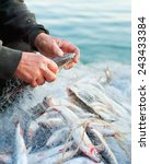 fishers hands take fish out of... | Shutterstock . vector #243433384