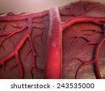 circulatory system  capillary ... | Shutterstock . vector #243535000