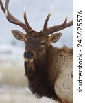 large bull elk stag  close up... | Shutterstock . vector #243625576