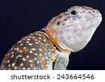 Collared Lizard   Crotaphytus...