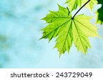 Leaf Of A Maple Tree Against...
