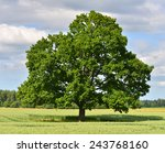 The Big Lonely Oak Tree On A...