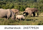 A Female White Rhinoceros And...