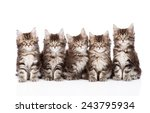 Stock photo large group of small maine coon cats sitting in front isolated on white background 243795934