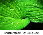 Bright Green Leaves With Dew