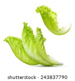 lettuce leaves isolated on... | Shutterstock . vector #243837790