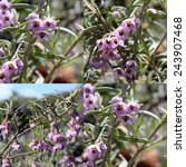 Small photo of Charming collage of lovely bell shaped pale mauve blooms of West Australian wild flower guichenotia species in full glory in early spring with a weeping habit adding color to the drab bush.