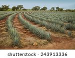 agave tequila landscape to... | Shutterstock . vector #243913336