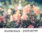 Azalea Flower  Azalea Flower In ...