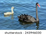 Adult Female Black Swan With...
