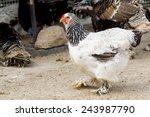 Giant Chicken Brahma