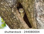 Young Spotted Owlet Come Out T...