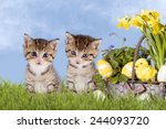 cats  easter  with daffodils on ... | Shutterstock . vector #244093720