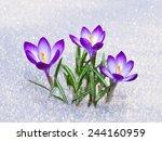 First Blue Crocus Flowers ...
