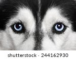 Blue Eyes. Siberian Husky
