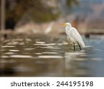 Great Egret Searching For Fish...