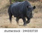 Постер, плакат: Black Rhinoceros aka Hook lipped
