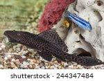 Aquarium Catfish  Hypostomus...
