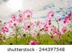 purple  pink  red  cosmos... | Shutterstock . vector #244397548