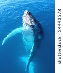 portrait of a majestic humpback ... | Shutterstock . vector #24443578
