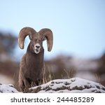 Big Horn Sheep Ram Full - Fine Art prints