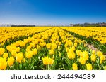 View Of Yellow Tulip Rows In...